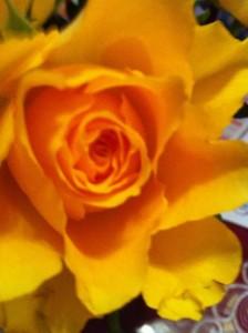 orangeRose_Anja